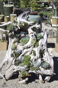 Ideas to arrange your succulent with driftwood 13